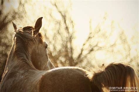 white horse portrait   sunset sky ka photo blog