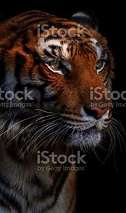 Tiger In Black Stock Photo - Download Image Now - iStock