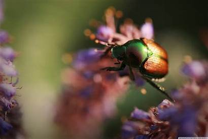 Beetle Insect Wallpapers Background Backgrounds Desktop Insects
