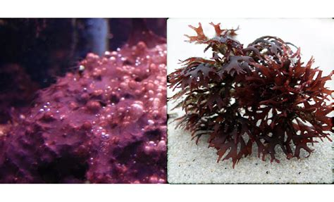 """Red Slime"" or Red Algae - The Aquarium Setup, Filtration"