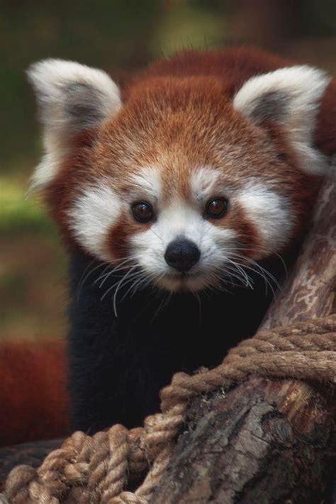 Red Panda Tumblr