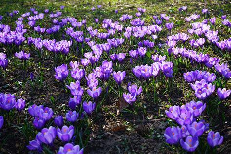 gambar menanam bunga ungu musim semi warna warni