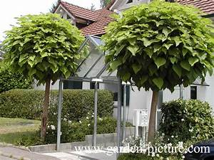 Catalpa Bignonioides Nana : designer mop top hello hello plants garden supplies ~ Michelbontemps.com Haus und Dekorationen