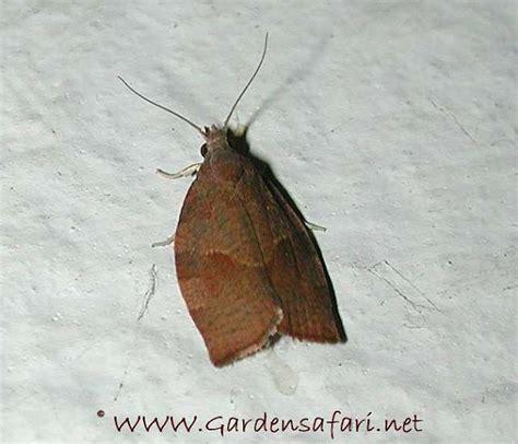 http://www.gardensafari.net/dutch/bladrollers.htm