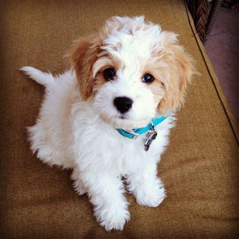 Best 25 Fluffy Dogs Ideas On Pinterest