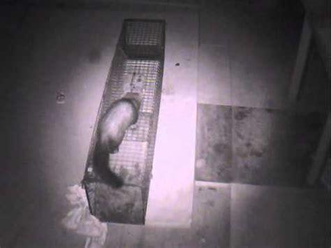 marder fallrohr manschette marder in der nacht auf dem dachboden 26 07 2013