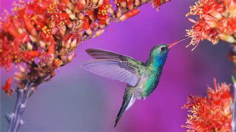 hummingbird wallpapers hd wallpapers id