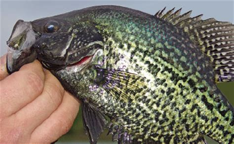 table rock lake crappie beds central plains slabs