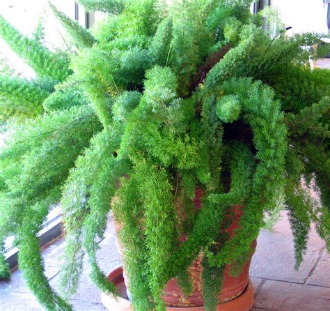 low light ferns low light houseplant google search houseplants love love love pinterest foxtail fern