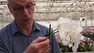 Wie Pflege Ich Hortensien : orchideen pflege wie schneide ich orchideen zur ck or doovi ~ Frokenaadalensverden.com Haus und Dekorationen