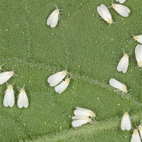 luizen bestrijden in huis witte vliegen bestrijden insecten op sierplanten