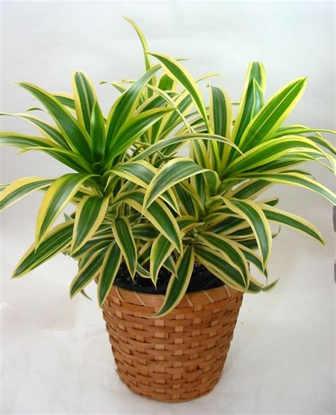 Zimmerpflanzen Bilder Und Namen by Pictures And Names Of Common House Plants