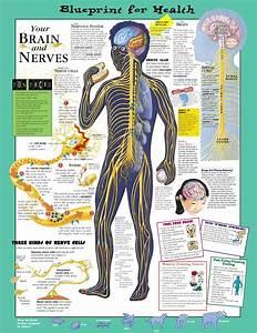 Blueprint For Health - Your Brain  U0026 Nerves