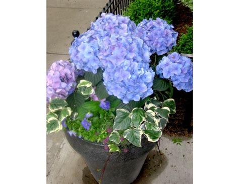 planter des hortensias en pot cultiver un hortensia en pot vari 233 t 233 s adapt 233 es entretien