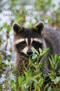 Common raccoon clipart - Clipground