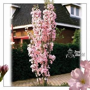 Die Schönsten Gartenbäume : okrasn t e e sloupovit prunus serrulata 39 amanogawa ~ Michelbontemps.com Haus und Dekorationen