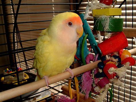 Lutino Love Birds