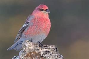 Vogel Mit Roter Brust : rosa und pinke tiere ~ Eleganceandgraceweddings.com Haus und Dekorationen