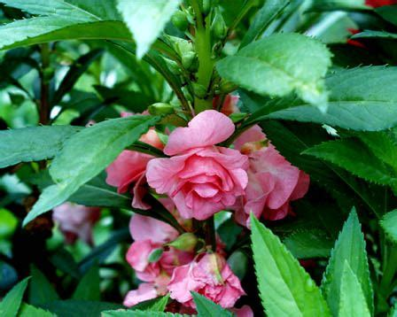 garden balsam impatiens balsamina plant information