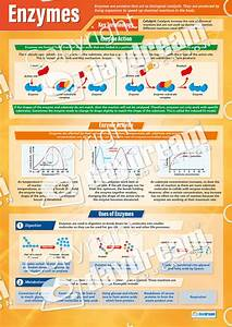 Enzymes  U2013 Science Poster