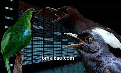 suara burung cucak ijo kumpulan suara mp  video om