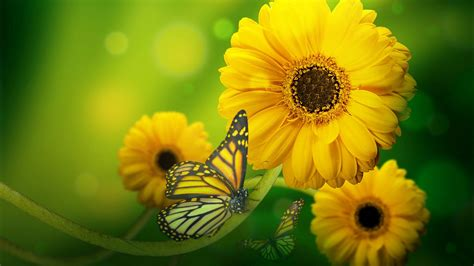 Butterfly On Yellow Flowers Hd Wallpaper Download For