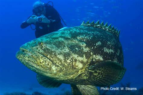 goliath grouper atlantic ban harvest lift virginia population cantley krafft licensed stearns ocean under