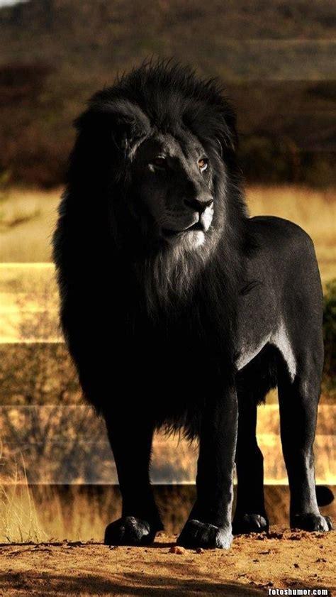 leon negro fotos de humor