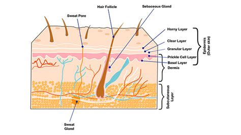 vrq level 1 my knowledge basic structure of the skin