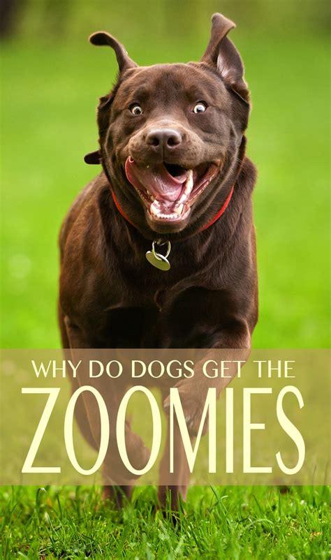dog zoomies   dogs run   crazy