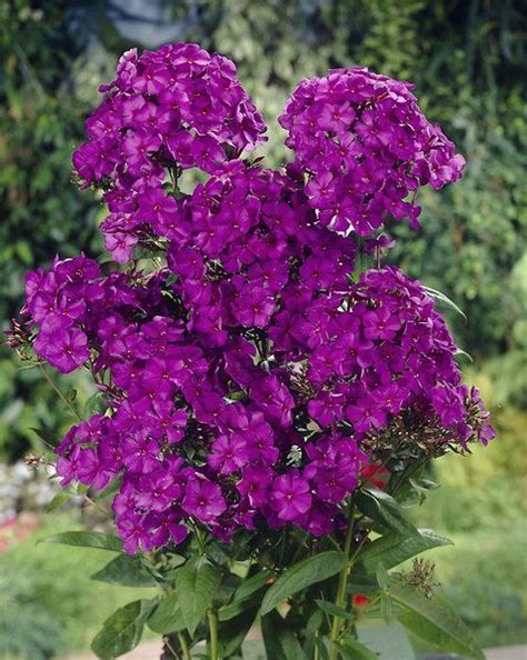 8 Best Tall Phlox Love Images On Pinterest Patio Plants