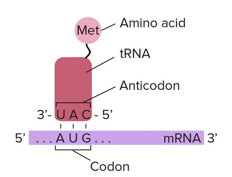 How To Find The Amino Acid That Is