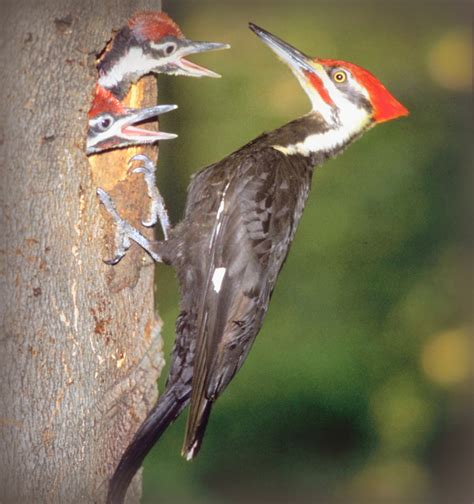 bird sounds and calls of the pileated woodpecker the old