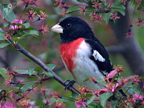 rose breasted grosbeak 3d 174 pet products3d 174 pet products