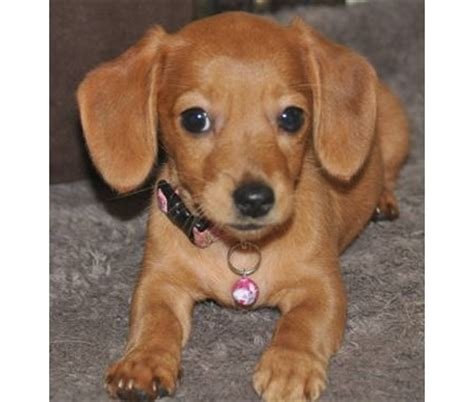 chiweenie love images  pinterest dachshund dog