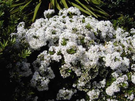 arbustes à fleurs p 233 pini 232 res d evrecy v 233 g 233 taux arbustes 224 fleurs arbustes persistants arbustes