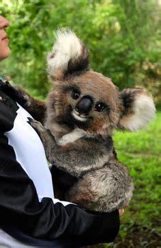 angry wet koala ha cute animals