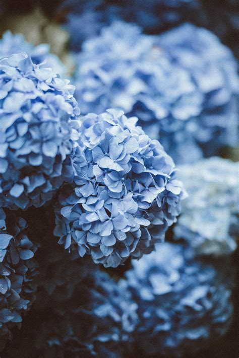 blue hydrangea hd photo  annie spratt atanniespratt