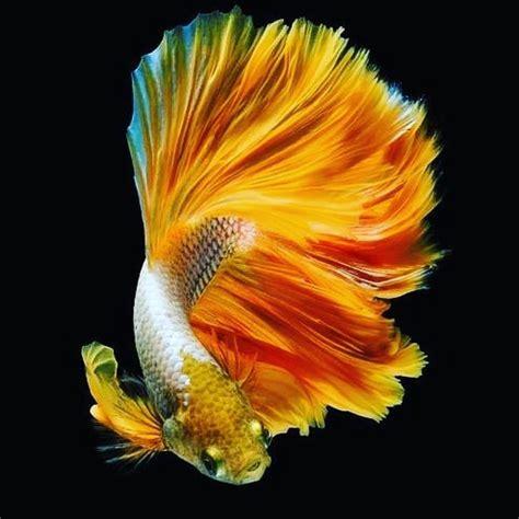 ikan cupang iphone bergerak   hd