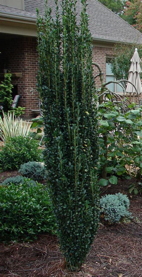 garden outdoor sky pencil holly   pretty garden