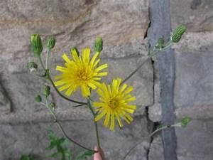Pflanzen Bestimmen Nach Bildern : ferkelkraut habichtskraut herbst l wenzahn pippau pflanzenbestimmung ~ Eleganceandgraceweddings.com Haus und Dekorationen