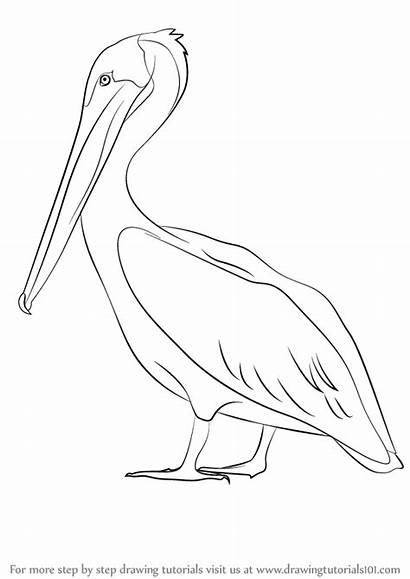 Pelican Draw Brown Drawing Step Water Animals