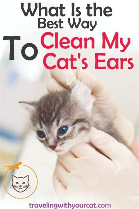 ears clean cat cats way ear safely oil olive cleaning