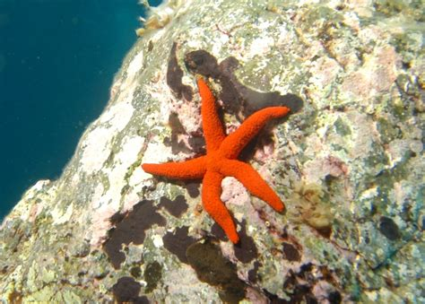 etoile de mer deco echinasteridae