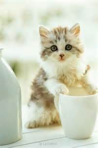 teacup cats for story of teacup cats and miniature cats save more animals