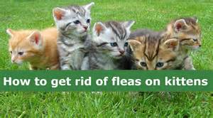 how to get rid of cat fleas how to get rid of fleas on kittens flea treatments