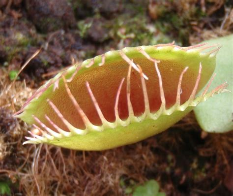 venus fly traps venus fly trap eating frog pictures