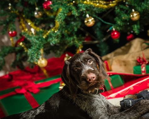dogs and holiday decorations a tough match
