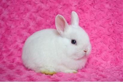 Dwarf Netherland Eyed Doe Rabbits Leicester Pets4homes
