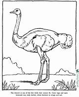 Coloring Zoo Printable Animal Ostrich Pages Sheet sketch template